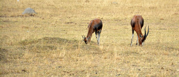 Impala antelope walking on the grass landscape. South Africa royalty free stock photo