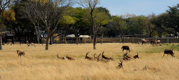 Impala antelope walking on the grass landscape. South Africa royalty free stock photos