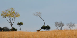 Impala antelope walking on the grass landscape. South Africa stock photo