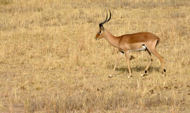 Impala antelope walking on the grass landscape. South Africa royalty free stock photography