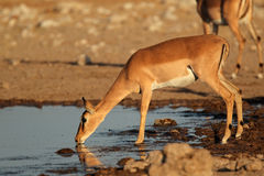 Impala antelope at waterhole Stock Photo