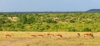 Impala antelopein the savanna Stock Image