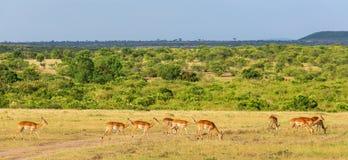 Impala antelopein the savanna Stock Image