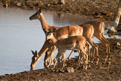 Impala antelopes. Drinking,safari Etosha, Namibia Stock Photography