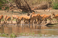 Impala antelopes. Drinking,safari Lower Zambezi, Zambia Royalty Free Stock Photo