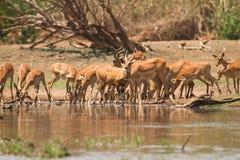 Impala antelopes. Drinking,safari Lower Zambezi, Zambia royalty free stock photo
