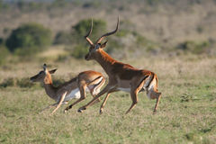 Impala antelopes Royalty Free Stock Image