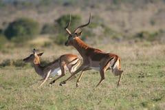 Impala antelopes. Impala antelope buck herding one of his females Royalty Free Stock Image