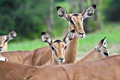 Free Impala Antelopes Royalty Free Stock Photo - 2942405