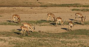 Impala antelopes grazing stock video footage