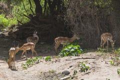 Antelope Impala in Tanzania royalty free stock photos