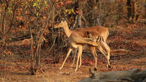Impala antelopes stock video footage
