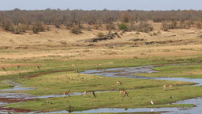 Impala antelopes stock footage