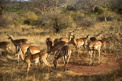 Impala antelopes Royalty Free Stock Images