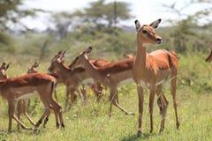 Impala. Antelopes in African savannah Stock Photo