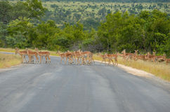 Impala antelopes crossing road in Kruger national park Royalty Free Stock Image