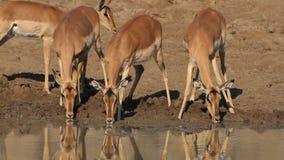 Impala antelopes drinking stock video footage