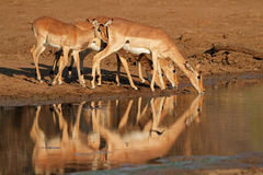 Impala antelopes drinking Royalty Free Stock Photography