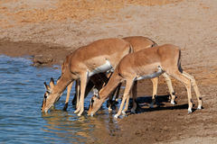 Impala antelopes drinking water Stock Image