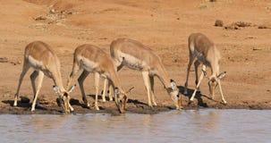 Impala antelopes drinking water stock footage