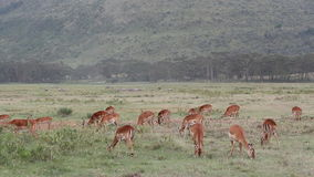 Impala antelopes feeding Royalty Free Stock Photography
