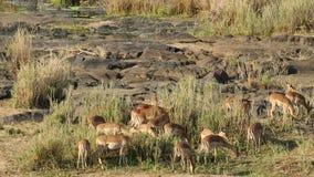 Impala antelopes feeding stock video