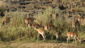 Impala antelopes feeding stock footage