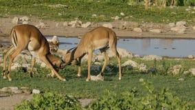 Impala antelopes fighting - Etosha stock footage
