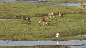 Impala antelopes grazing stock video