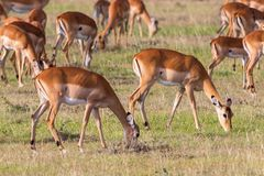 Impala antelopes grazing Royalty Free Stock Photo