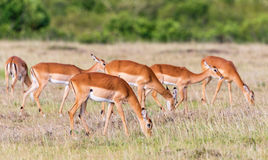 Impala antelopes grazing on the savannah Royalty Free Stock Photography