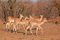 Impala antelopes Stock Photography