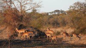Impala antelopes stock video