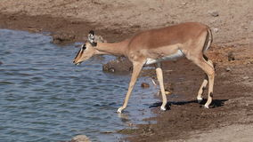 Impala antelopes at waterhole stock footage