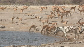 Impala antelopes and zebras at a waterhole stock footage