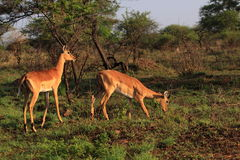 Impala Antilope Südafrika Lizenzfreie Stockfotografie