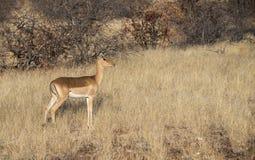 Impala-Antilope u. x28; Aepyceros melampus& x29; Stellung auf einem grasartigen Gebiet Stockfoto