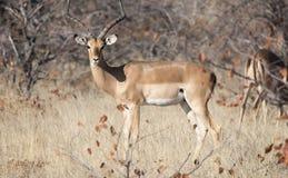 Impala-Antilope u. x28; Aepyceros melampus& x29; Stellung in der Bürste Lizenzfreies Stockfoto