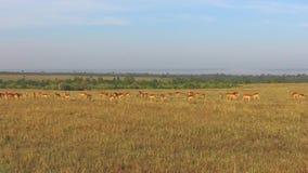Impala of antilopen die in savanne in Afrika weiden stock video