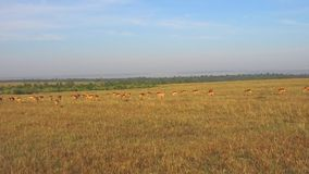 Impala of antilopen die in savanne in Afrika weiden stock videobeelden