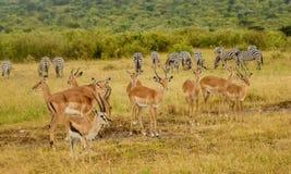 Impala Antilopes στο εθνικό πάρκο Masai Mara, Κένυα Στοκ φωτογραφία με δικαίωμα ελεύθερης χρήσης