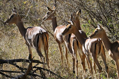 Impala antilopes Stock Photography