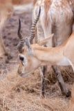 Impala antylopa Fotografia Royalty Free