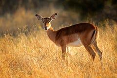 Impala antylopa Obraz Royalty Free