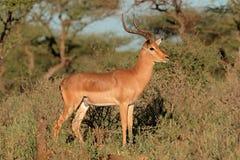 Impala antylopa Obraz Stock