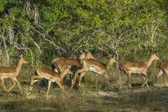 Impala, antylopa, Południowa Afryka Obrazy Stock