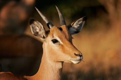 impala antylopy Zdjęcie Royalty Free