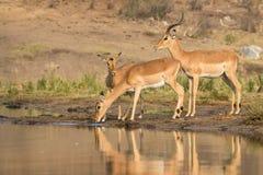 Impala antylopy przy wodopojem Obrazy Royalty Free