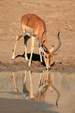 Impala antylopy woda pitna Fotografia Stock
