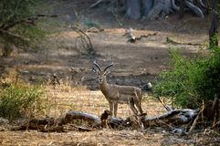 Impala auf dem Ausblick Lizenzfreie Stockfotos